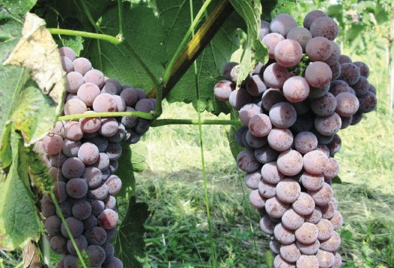 szőlővel teljes körű lehetőségek a szakemberek számára)